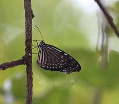 Blue Glassy Tiger, Bangkok Thailand 2015 (Kent Van Vuren) Tags: blue butterfly tiger glassy vulgaris ideopsis