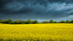 Mellow Yellow VS Shroud of Cloud (Mundstrom) Tags: flowers sky field clouds countryside ominous stormy yelow