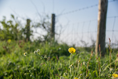 Buttercups and Blue Sky (Shastajak) Tags: fence spring bokeh buttercups fencefriday