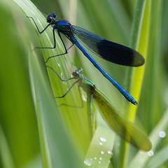 Do i have a squint? (nikjanssen) Tags: nature dof dragonfly bokeh libel calopteryxsplendens bokehlicious