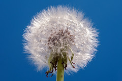 Seed head of a dandelion, (Tim Dennell) Tags: flower macro up weed close fluffy bluesky dandelion seeds seedhead detailed dandelionclock floret blowballs filamentousachenes