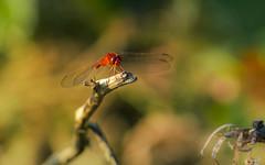 Firefly (likeslimes) Tags: morning travel sun macro art animal island fly asia dragon pentax south ngc east backpacking 200 tamron 70 lang twop kawi k3ii