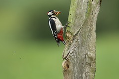 Great Spotted Woodpecker (Colin Rigney) Tags: bird nature animal outside woodpecker outdoor wildlife greatspottedwoodpecker ukwildlife ukbirds canoneos7d worcestershireuk colinrigney