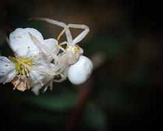 Thomisidae - Misumeninae : Misumena vatia (Clerck 1757) Femelle. (Ihagee86) Tags: macro fujifilm micronikkor macrophotographie fujifilmfinepixs5pro micronikkor55mmais macrolife