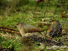 Mouthful... (Lesley A Butler) Tags: autumn australia victoria tolmie bowerbirds