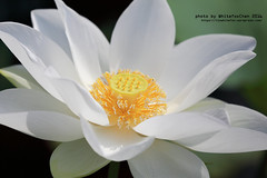 Lotus (Whitefox Chen) Tags: 6d canon canon70300mm flower lotus taiwan taipei white