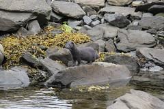 IMG_3179 Isle of Mull Mink (Photos-Tony Wright) Tags: wild nature animal scotland wildlife may mink isleofmull predator mull 2016 pennyghael
