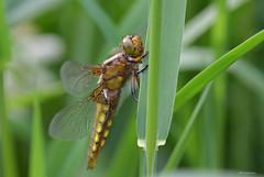 Plattbauch (svensonkra26) Tags: outdoor libelle insekt plattbauch segellibelle
