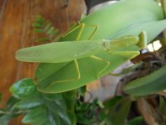 Praying mantis 1 (SierraSunrise) Tags: green animals mantis thailand insects chiangrai mantidae wiangchai