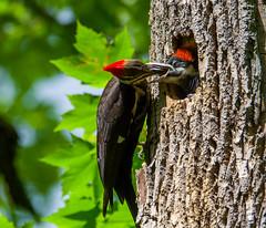 Pileated Woodpecker Nest - Dryocopus pileatus (Bill VanderMolen) Tags: woodpecker nest michigan pileatedwoodpecker kensingtonmetropark nestcavity dryocopus woodpeckernest pileatuspileated nestwoodpecker