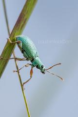 Little Gem (shaftination) Tags: blue green insect metallic small beetle iridescent greenweevil reedstem polydrususformosus paulfarnfieldcom