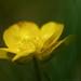 Ranunculus montanus (?)