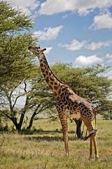 Giraffe 9-102 (Grete Howard) Tags: golkopjes kopje serengeti tanzania safari safariinafrica bestsafarioperator bestsafaricompany whichsafaricompany whichsafarioperator animals animalphotos animalsofafrica africa africansafari africanbush africananimals animal birds birdwatching birding gamedrive