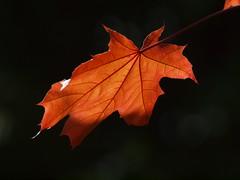 kein Herbstlaub (bratispixl) Tags: rot germany oberbayern tele gegenlicht schrfentiefe chiemgau ahornblatt lichtwechsel traunreut fokussierung stadtrundweg bratispixl
