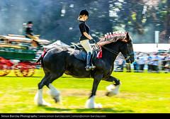Abergavenny Steam Rally 2016 - Gentle Giants (SimonBarclay.com) Tags: uk greatbritain horse nature animals southwales wales britishisles unitedkingdom mammals abergavenny steamrally monmouthshire baileypark