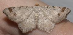 Red-headed inchworm (K. S. Veitch (millers/moths)) Tags: kentucky moths macariabisignata redheadedinchworm kentuckymoths