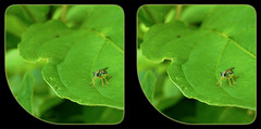 Atomosia Rufipes, Robber Fly 1 - Crosseye 3D (DarkOnus) Tags: macro closeup insect lumix fly stereogram 3d crosseye pennsylvania panasonic stereo stereography buckscounty robber crossview rufipes atomosia dmcfz35 darkonus
