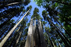 things are looking up (primemundo) Tags: woods bluesky cedar cedars wellsmillspark