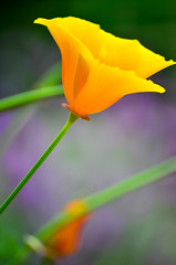 California dreaming (James_D_Images) Tags: california orange green yellow purple bokeh poppy poppies backlit communitygarden
