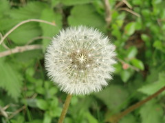 Blowball (Steffiba) Tags: flowers green nature germany deutschland spring natur blumen dandelion april grn frhling 2014 dandelionclock lwenzahn pusteblume blowball badenwrttemberg leingarten hawkbit