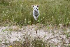 DSC_0083 (Miguel Castaon) Tags: asturias perro gijon hipica mestas