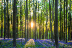 Where is the unicorn? (Mini-UE || Mini-Photography) Tags: hallerbos color colour woods wood bos sun sunshine shine light forest purple green tree trees mastery mini miniphotography michel nicolaes nature