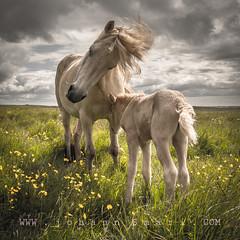 a mere and her foal (johann Smari) Tags: summer nature mere foal icelandichorses johannsmari