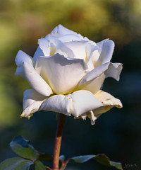 Lovely in White (Jocey K) Tags: autumn newzealand christchurch roses flower may monavale
