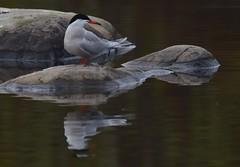 That Pose (Insearchoflight) Tags: birds stjohns worldofbirds arcticterns migratorybirds newfoundlandandlabrador insearchoflight birdsandwater avianbeauty waynenorman pondfeeders worldwearytravellers