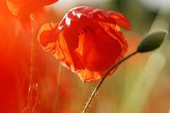 DSC09748 (Odile Ancrenas Photos) Tags: red blur flower fleur rouge poppy flou coquelicot