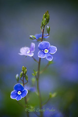 Veronica (laszlofromhalifax) Tags: plant canada flower macro closeup backyard novascotia veronica bloom halifax pgns pgnsmacrofieldtrip