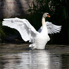 In a flap (Mukumbura) Tags: swan flapping wings wingspan male adult muteswan cygnusolor displaying threat warning white feathers water reflection nature wildlife wildfowl britain cob wells somerset bird