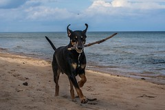 240/365 (Cecilia Adolfsson) Tags: boss beach seashore outdoor dog funday run dobermann