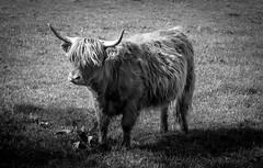 Highland Cow (francis.mck.photo) Tags: animal blackandwhite cow farm field glasgow grass hair highland highlandcow horns leaves light livestock mono monochrome moo park pollock scotland summer sunlight