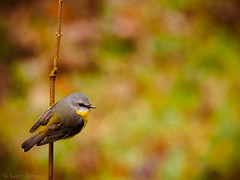 "eastern yellow robin II • <a style=""font-size:0.8em;"" href=""http://www.flickr.com/photos/44919156@N00/27609012510/"" target=""_blank"">View on Flickr</a>"