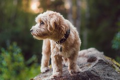 Kippie The Explorer (Naetrogen) Tags: nature summer sunset dog puppy love havanese fujifilm helios442 forest bokeh depthoffield exploring travelling sweden karlstad europe fujinordic pets animals goldenhour