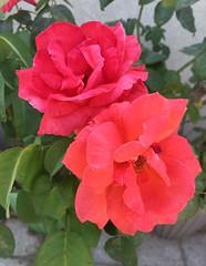 Las Vegas Roses (Assaf Shtilman) Tags: las vegas flowers orange rose