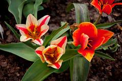 Powsin.20160416.13.50.15 (jasiorkowski) Tags: polska kwiat kolory czerwony powsin miejsca obiekty