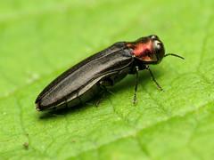 Another Red-necked Cane Borer (treegrow) Tags: nature insect washingtondc beetle rockcreekpark arthropoda coleoptera buprestidae lifeonearth raynoxdcr250 agrilusruficollis canonpowershotsx40hs taxonomy:binomial=agrilusruficollis