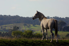 A little pony named Tony (anthonygrey1) Tags: horse wilderness outback field endless hills australia stallion farm