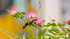 Pink Lunch Time (barak.shacked) Tags: bird nature sunbird tinybird smallbird  palestinesunbird  cinnyrisosea israelibird  birdonaflower