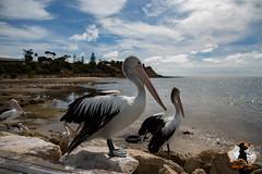 20160413-2ADU-017 Kangaroo Island