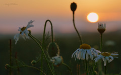 Evening in june (AndyW Harz) Tags: sunset flower abend sonnenuntergang blume