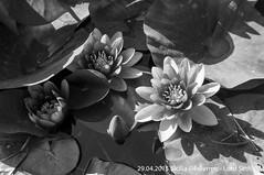 Palermo (Lord Seth) Tags: bw italy aquarium nikon palermo sicilia biancoenero 2015 giardinobotanico ninfee d5000 lordseth