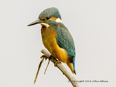 Kingfisher 22/06/16 (johnatkins2008) Tags: camera riverside wildlife lakeside kingfisher waterside birdphotography wildlifephotography canonphotography eos7d johnatkins2008