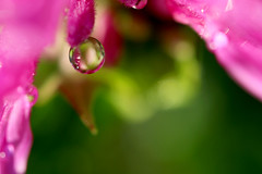 Drop (Starfreak611) Tags: pink summer flower macro green nature floral june canon outdoors waterdrop 60mm naturephotography canonphotography