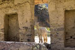 Ollantaytambo-Alpaca (cheryl strahl) Tags: plaza alpaca peru southamerica inca stone ruins terraces cobblestone granite blocks fortress carvings deity ollantaytambo sacredvalleyoftheincas ollanta manyaraki wircocha