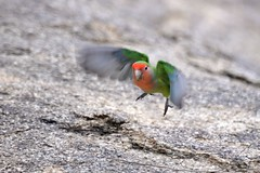 Lift Off (zenseas : )) Tags: africa wild vacation holiday cute bird smile smiling flying flight liftoff lovebird namibia rosyfacedlovebird agapornisroseicollis erongo omaruru erongowildernesslodge