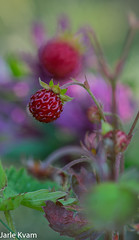 IMGP2942 (jarle.kvam) Tags: summer macro norway sommer strawberries markjordbr