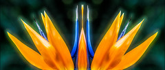 Symmetrical Paradise (FotoGrazio) Tags: orange plant painterly abstract flower art nature closeup composition botanical photography flickr pattern photoshoot fineart surreal symmetry explore birdofparadise photographicart capture botany mothernature digitalphotography avantgarde mirroreffect phototopainting phototoart 500px freeimage freepicture sandiegophotographer artofphotography downloadforfree californiaphotographer freetodownload internationalphotographers worldphotographer photographersinsandiego fotograzio photographersincalifornia waynegrazio waynesgrazio